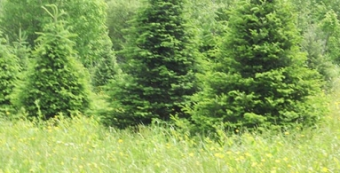 Balsam Trees grown in Maine
