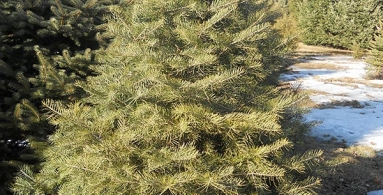 Concolor (White) Fir