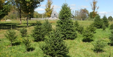 Fir Trees grown in Maine