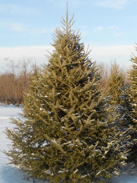 Canaan Fir Christmas Tree