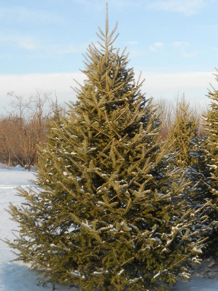 Christmas Tree Growers